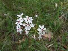 Burchardia umbellata - Milkmaids