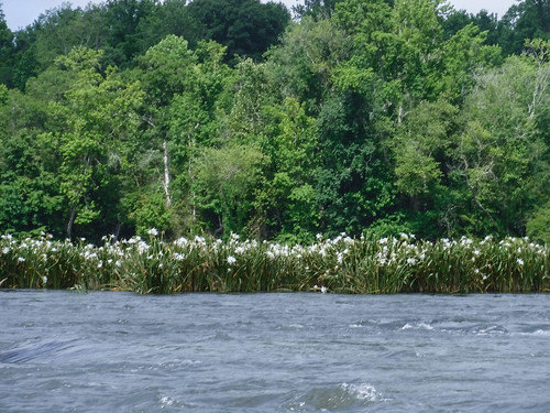 Landsford Canal Spider Lilies-079