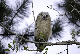 2017 5 5 - Baby Owl Number Two - 9S3A3037 | by Rags Edward