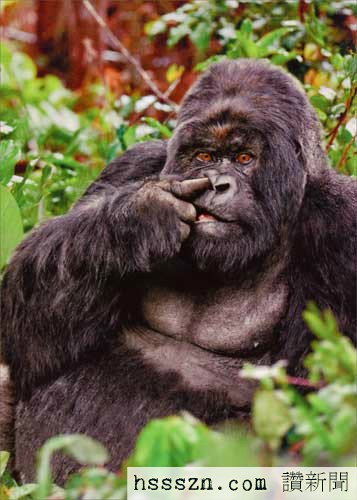 cd10618-gorilla-picking-nose-birthday-card