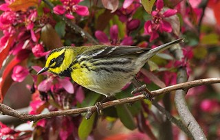 Townsend's Warbler (m) | by richmondbrian