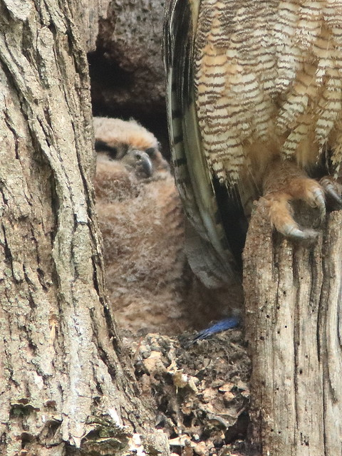 Great Horned Owlet 20170512