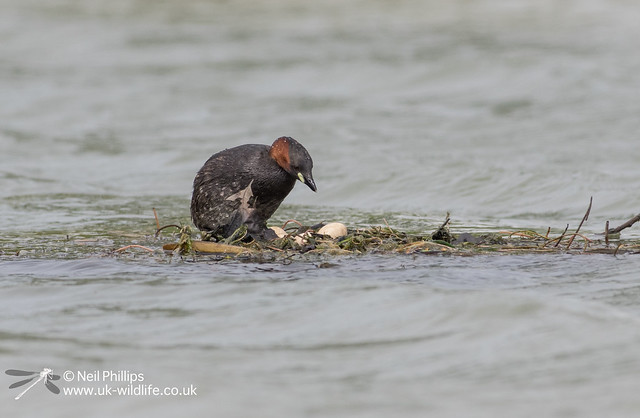 Little grebes trying to save nest-5