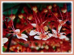 Showy scarlet flowers and promising buds of Clerodendrum paniculatum (Pagoda Flower, Orange Tower Flower, Hanuman Kireetam), 4 May 2017