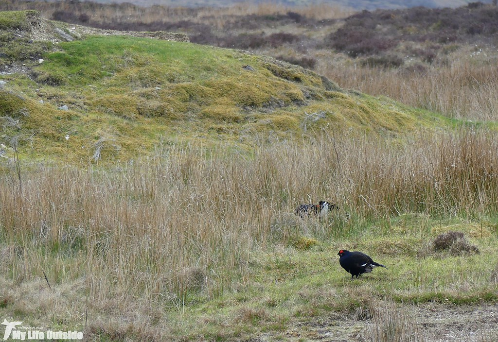 P1070694 - Black Grouse, World's End
