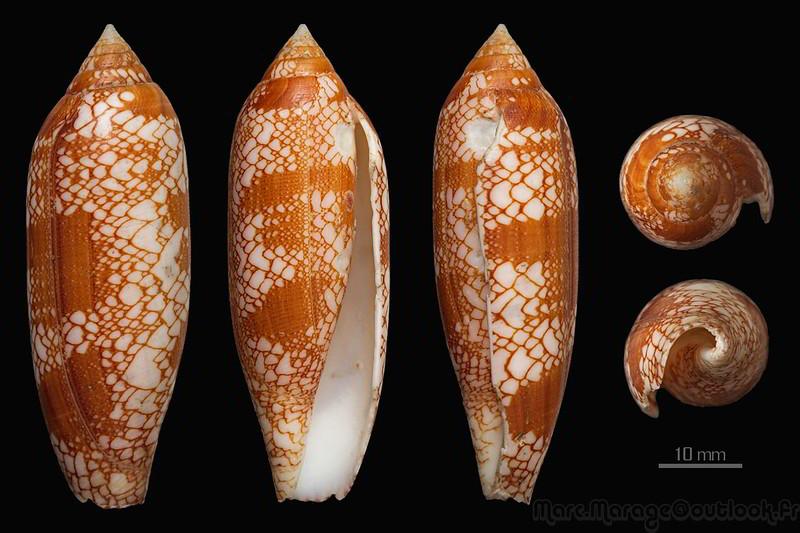 Conus (Darioconus) auratinus da Motta, 1982 - Page 2 34433464462_93c4e96775_c