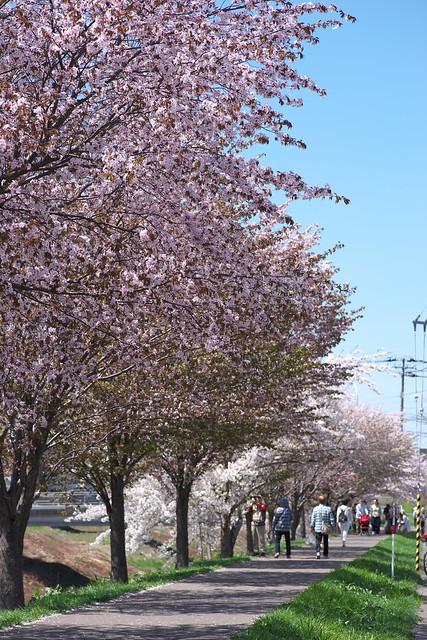 20170504新川さくら並木の桜_18