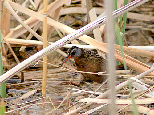 Virginia Rail eBird 20170503