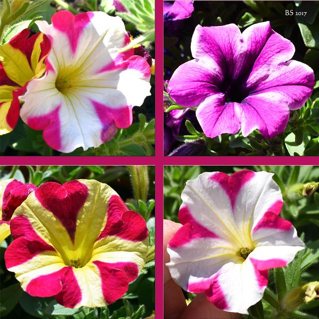Bunte Blumengrüße aus Balkonien ... Mai 2017 ... Foto: Brigitte Stolle, Mannheim