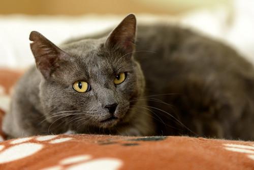 Gris, gato Cruce con Cartujo tímido y tranquilo positivo a inmunodeficiencia nacido en Agosto´15, en ADOPCIÓN ESPECIAL. Valencia. 34672167666_44639fbf2a