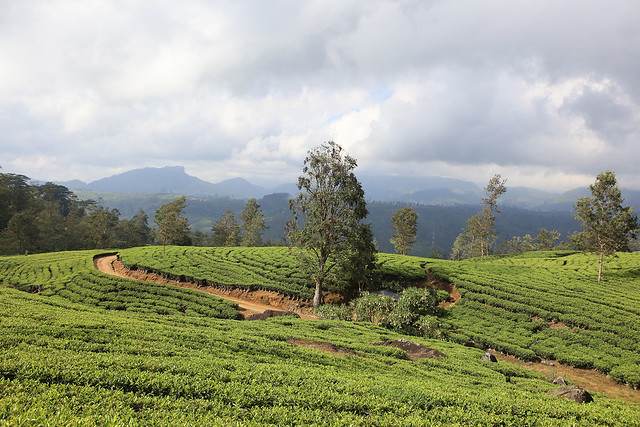 PW-Ceylon-Tea Country2