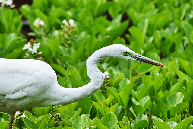 20170425_01_great egret ( Ardea alba )