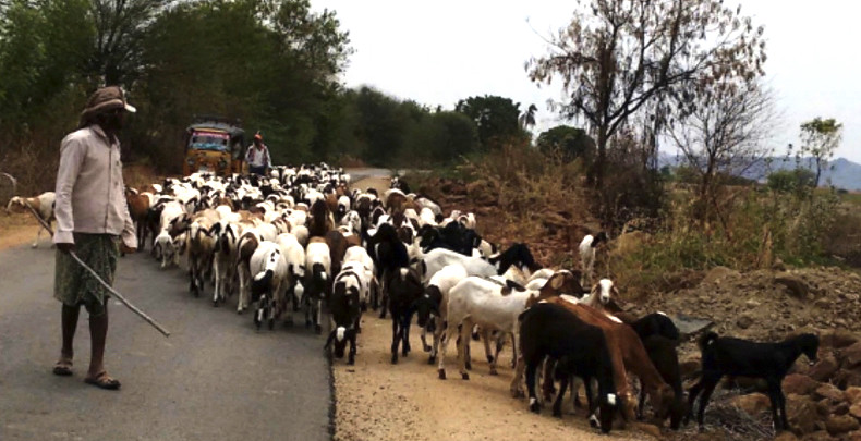 The number of milch and draught animals in the district has reduced by half. It is estimated that around 38 lakh heads of sheep and 8 lakh goats have been taken to distant places for grazing.