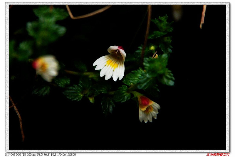 玉山小米草 1