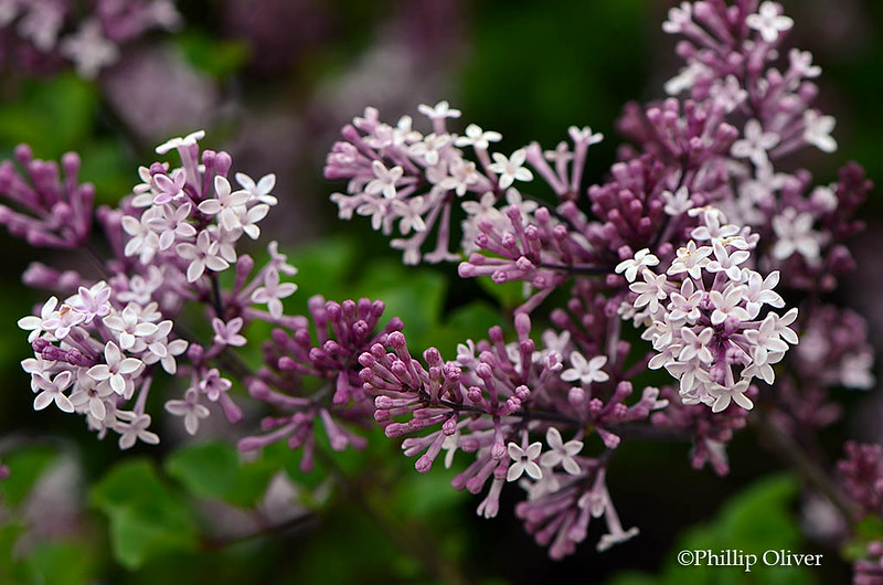 korean-lilac