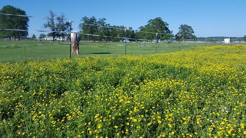 Paddock weeds