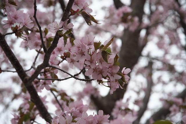20170505旭山記念公園の桜_08