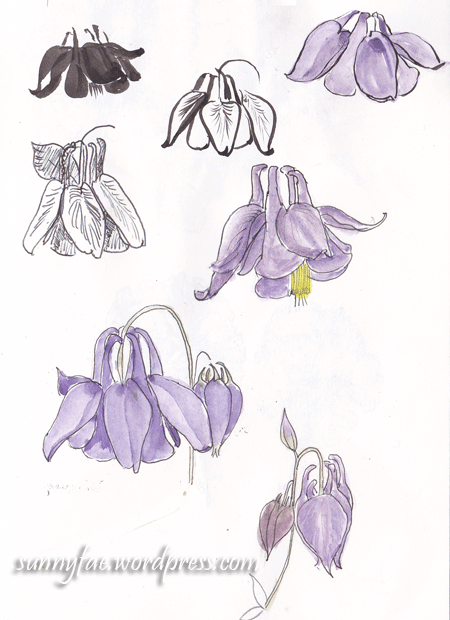 Aquilegia (Columbine) Sketches 2