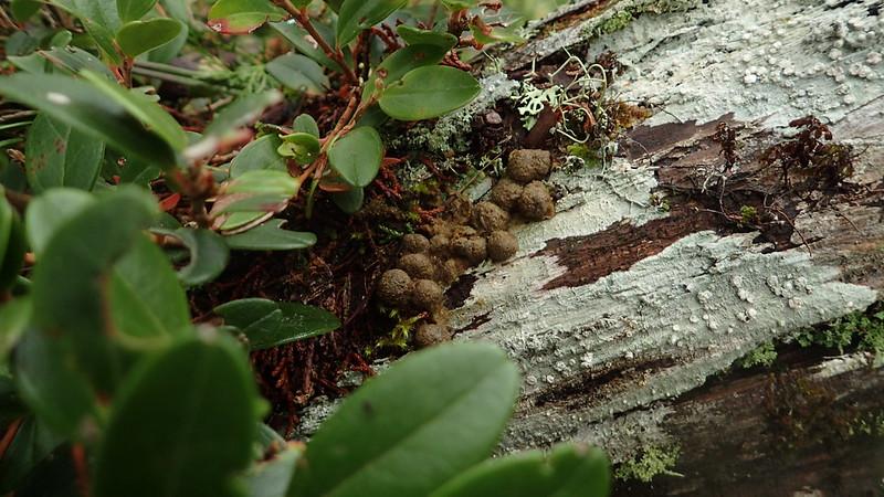樹冠層的飛鼠大便
