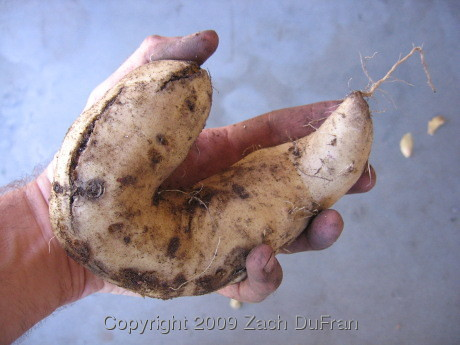 biggest_sweet_potato