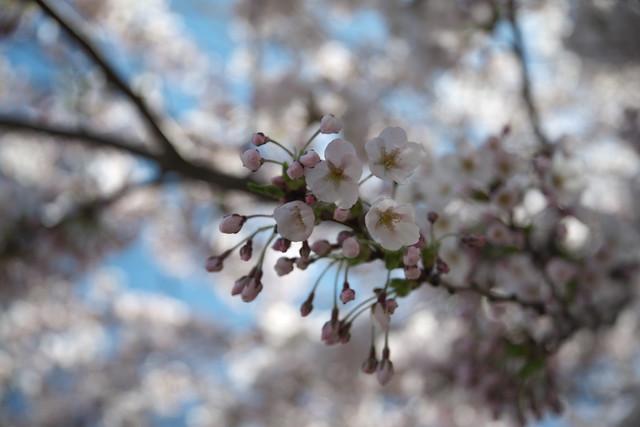 20170504新川さくら並木の桜_07