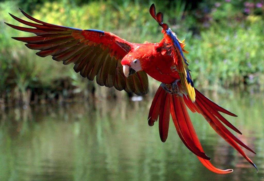 Scarlet Starlet | Scarlet Macaw (Ara macao) incoming | Ger