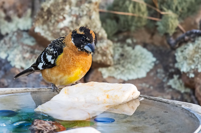 Black-headed-Grosbeak-29-7D2-050617 (1)