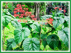 Clerodendrum paniculatum (Pagoda Flower, Orange Tower Flower, Hanuman Kireetam) with focus on its large palmately lobed leaves, 9 Nov 2011