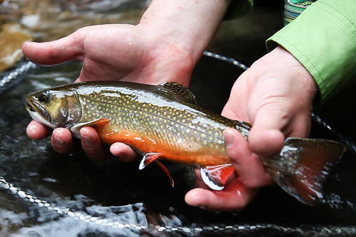 Angler holding Brook trout caught in Pendleton County, W.Va. | by National Fish Habitat Partnership