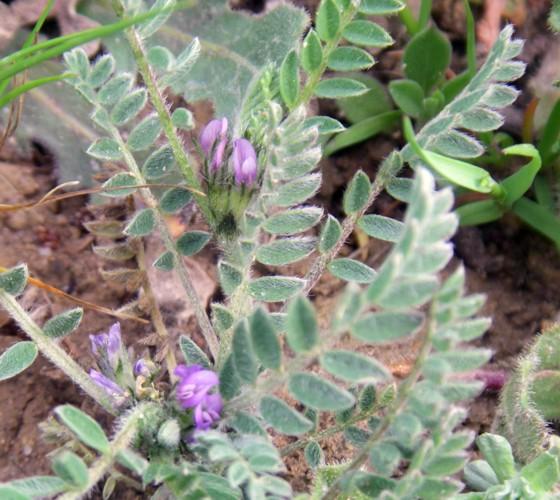 Astragalus sesameus 34645086675_91b6fea2e7_o