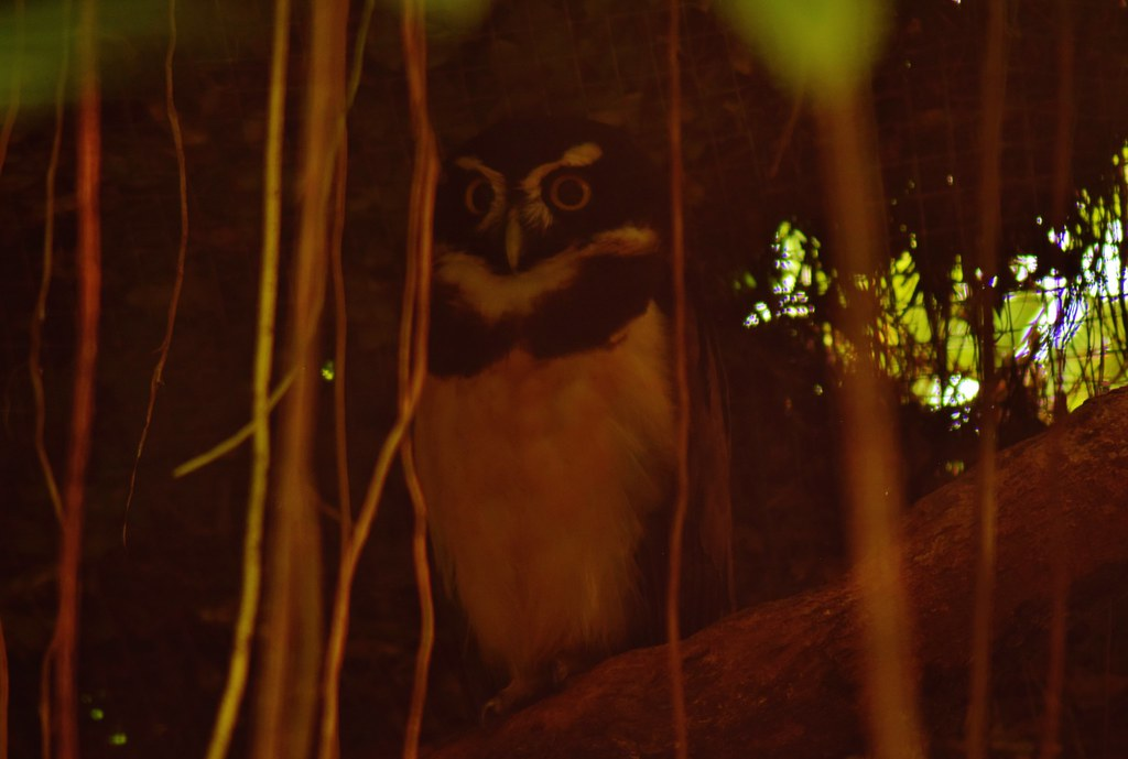Belize Zoo - owl on the night tour