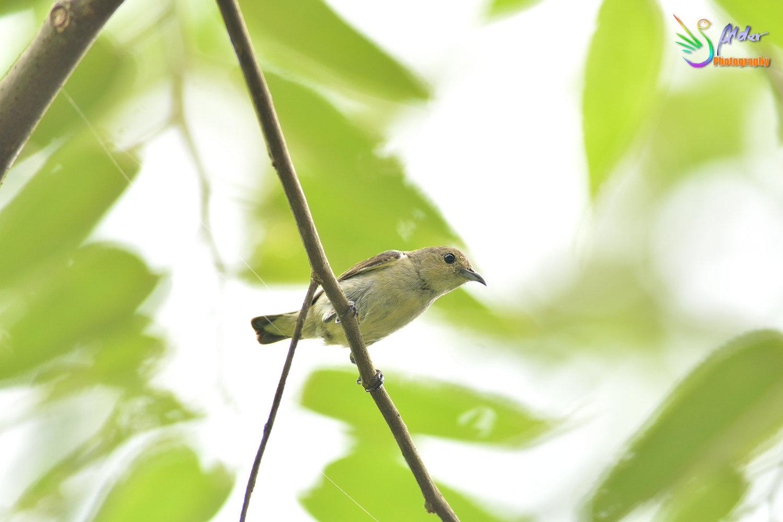 Plain_Flowerpecker_5563