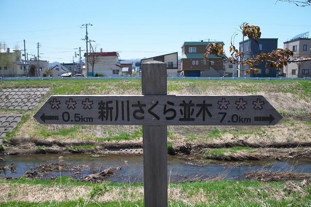 20170504新川さくら並木の桜_02