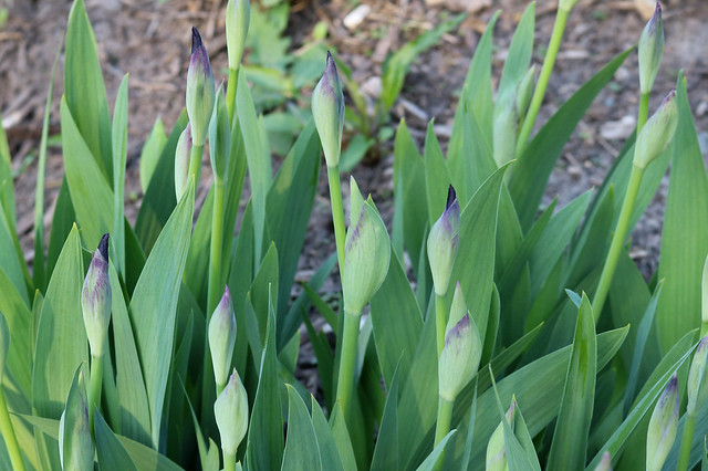 about a dozen iris buds, some with dark purple tips