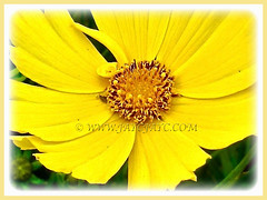 Attractive flower of Coreopsis (Calliopsis, Tickseed, Pot of Gold, Yellow Cosmos), 26 Oct 2013