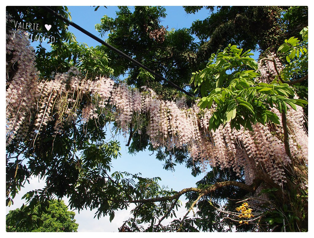 【台南 Tainan】白河欣賞盛開的石斛蘭花 猶如花瀑布垂掛在百年老龍眼樹上 @薇樂莉 ♥ Love Viaggio 微旅行