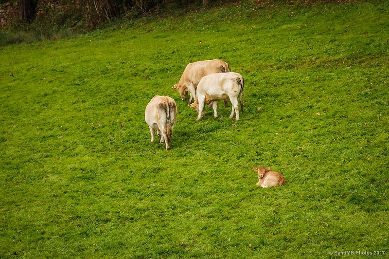 Vacas y ternero en Iñarbil