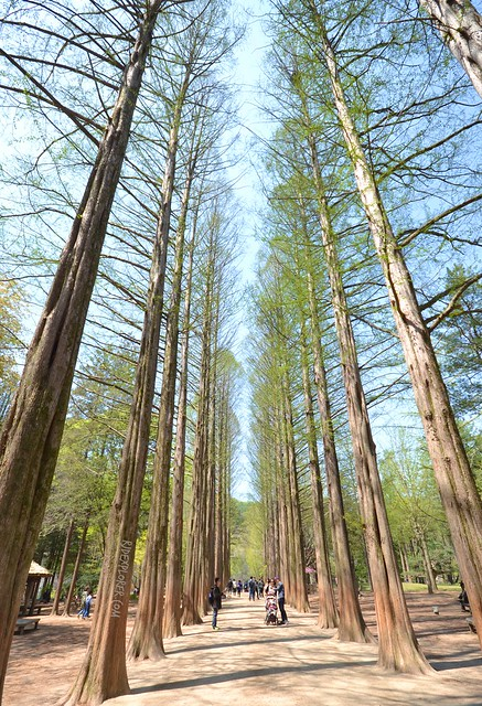 nami island Metasequoia Tree Lane