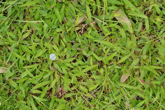 lawn of (mostly) Paspalum conjugatum