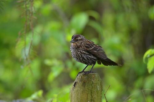 Female Red-winged Blackbird | by Neal D