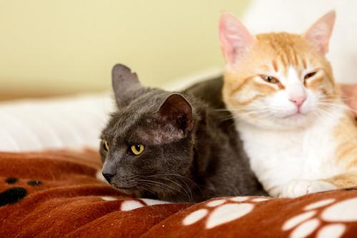 Gris, gato Cruce con Cartujo tímido y tranquilo positivo a inmunodeficiencia nacido en Agosto´15, en ADOPCIÓN ESPECIAL. Valencia. 34328220380_365f38c77b
