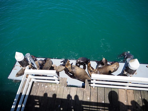Santa Cruz Wharf Sea Lions