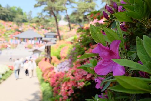 Shiofune Kannon temple Azalea Festival 2017 07