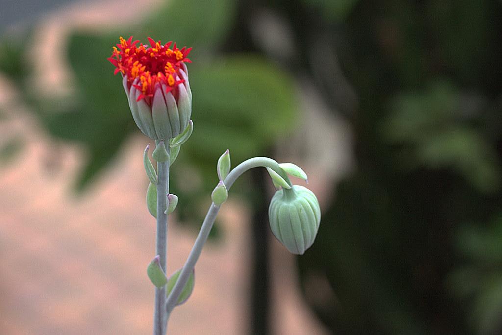 flor de senecio coccineiflorus