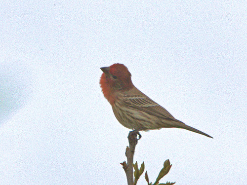 House Finch 04-20170502