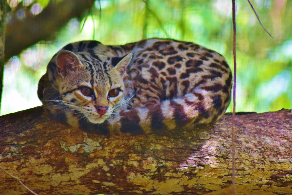 Belize Zoo - Margay