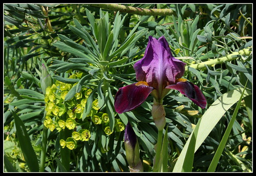 Iris 'Cameroun' - Cayeux 1938 34668962431_79eb972892