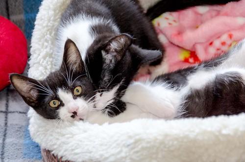 Cloud, gatito blanquinegro megadulce y guapo esterilizado, nacido en Enero´17, en adopción. Valencia. ADOPTADO. 34672267126_9f6c095bcb