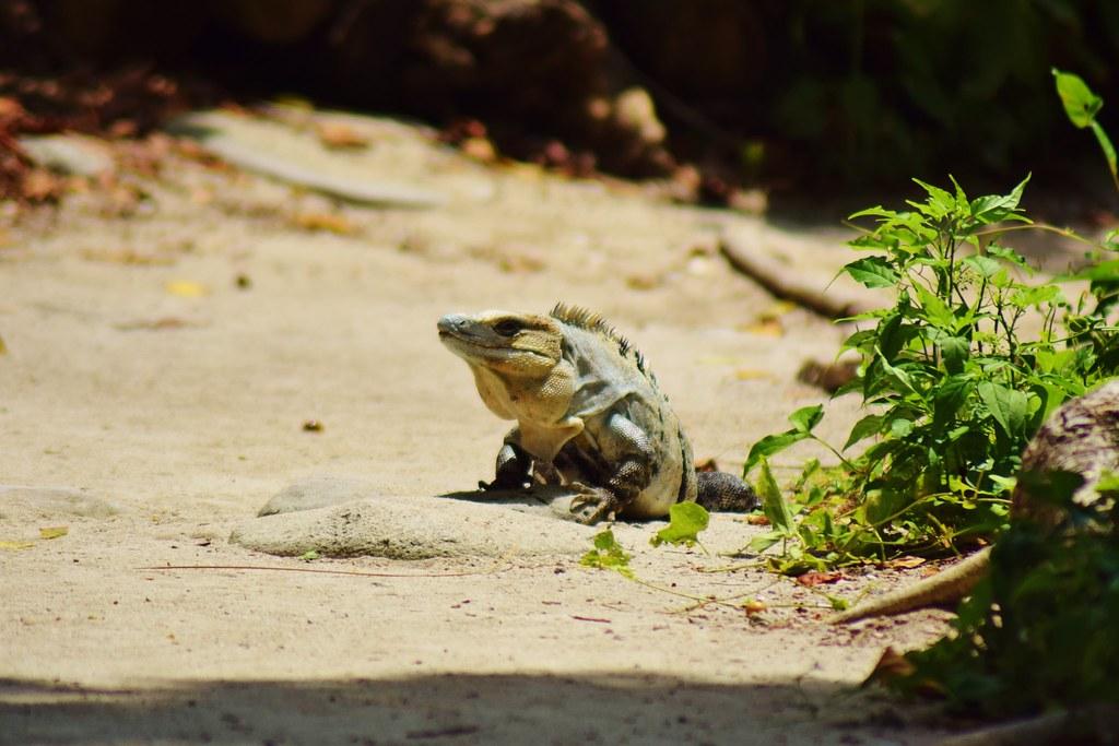 Half Moon Caye, Belize - spotting iguanas