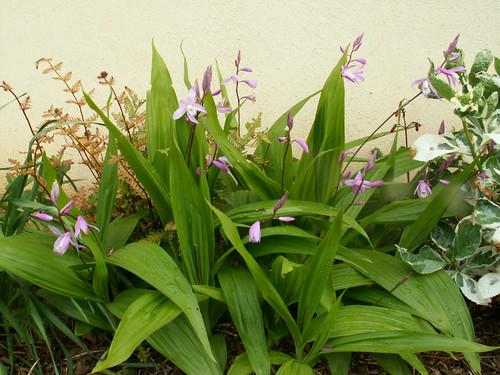 Bletilla striata - orchidée du Japon - Page 3 34688585395_722360a4f9